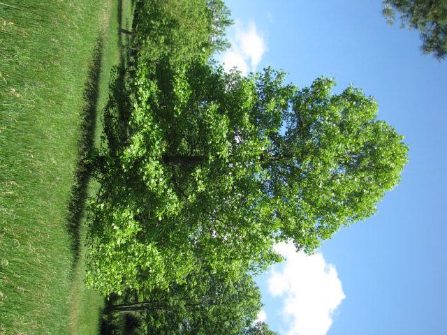 lulip tree shape