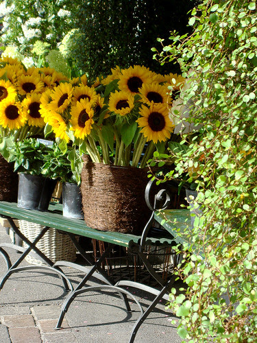 Sonnenblumen bei Marsano am Paradeplatz Zürich 14.8.09