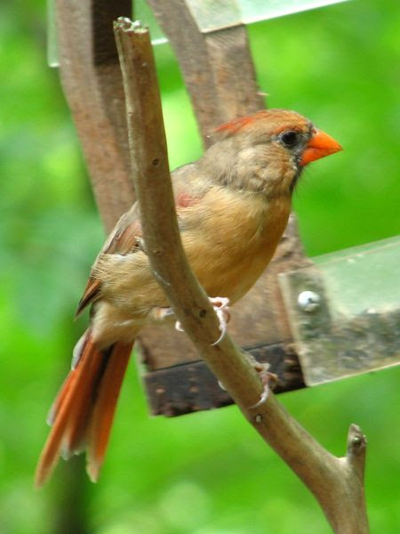 File:Cardinal female 2.jpg