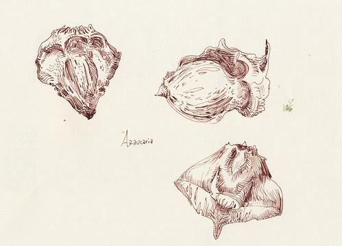 December 2013: Araucaria by apple-pine