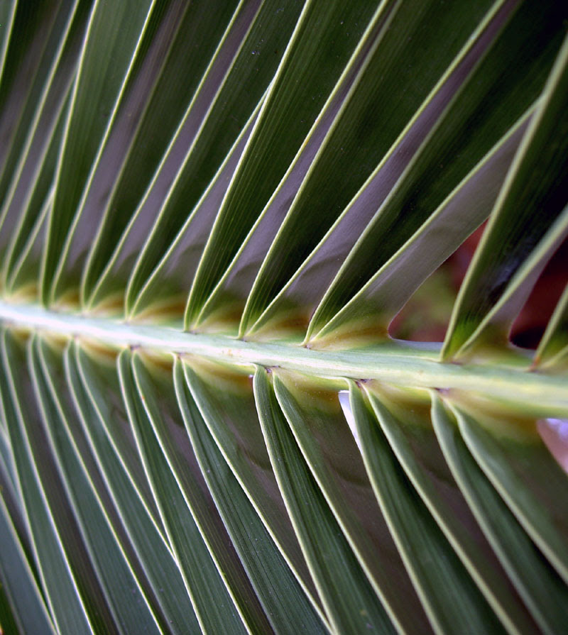 Palm Frond, Claypool, AZ