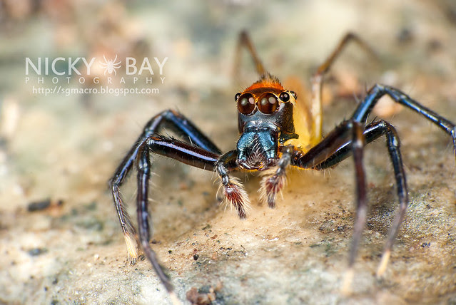 Jumping Spider (Epeus sp.?) - DSC_9027