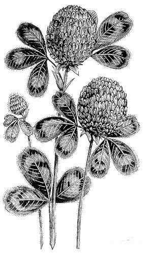 Resultat d'imatges de botànica dibuixos de flors i fulles