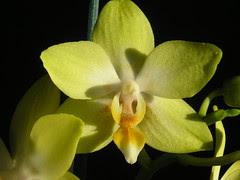 Phalaenopsis Taisuco Glory