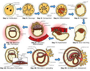 The initial stages of human embryogenesis.