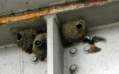 Parc de la Rivière des-Mille-Îles, swallows, Canada Day 2011