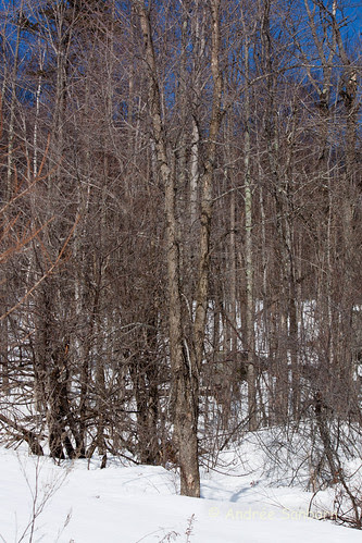 Elm Tree -2.jpg