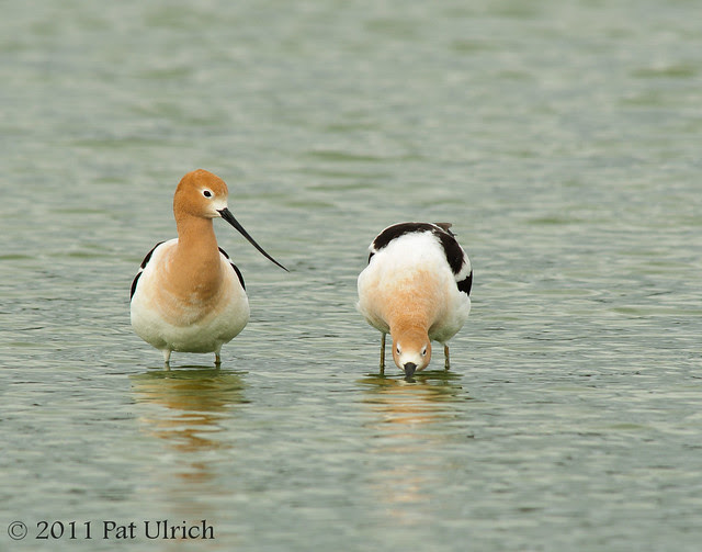 American avocet courtship - Pat Ulrich Wildlife Photography