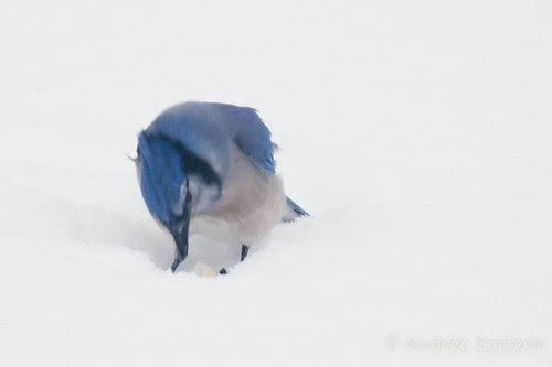 Blue Jay (3 of 7).jpg