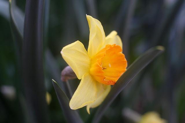 daffodils, sw 5th & pine