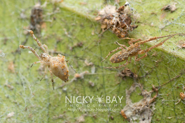 Feather-Legged Spider (Uloboridae) - DSC_6472