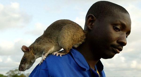 Foto : Tikus Gambia (Daily Mail)