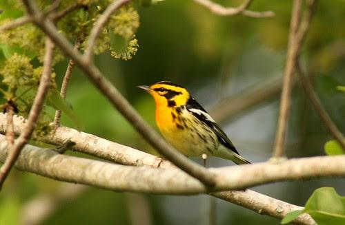 Blackburnian Warbler - 4/30/2010