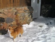 In this photo released by Natasha Baydakova on Wednesday Jan. 4,2011 showing a Welsh corgi dog named Ole that showed up at a Cooke City motel four days after the dog and its owner were swept up in an avalanche. The dog's owner died. The dog returned to this motel where they had been staying before going backcountry skiing. (AP Photo/Natasha Baydakova)