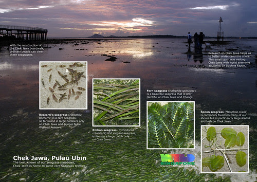 Chek Jawa: Special seagrasses
