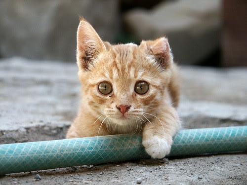 フリー画像動物写真哺乳類ネコ科猫ネコ子猫チャトラフリー素材