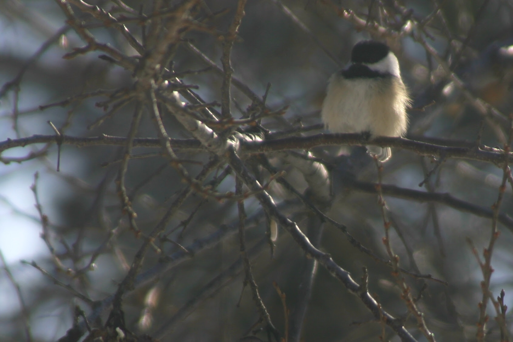 Black-Capped Chickadee in Plum Tree