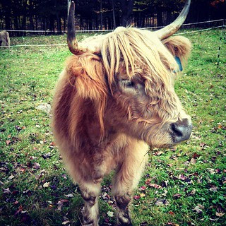 Just another Sunday, making new friends... #highlandcattle #newhampshire #farmanimals #love
