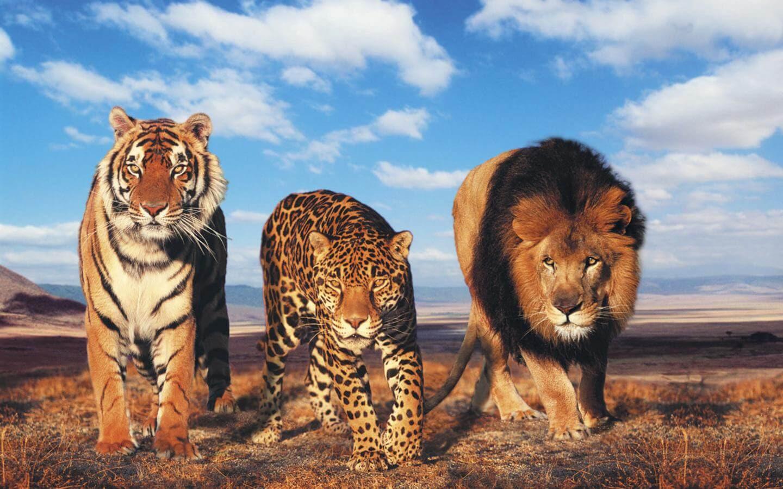Tiger And Lion Wallpaper Sf Wallpaper