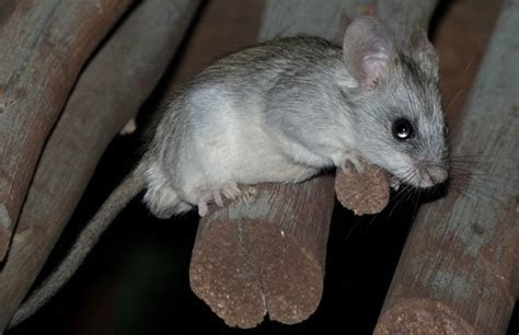 Thallomys nigricauda (Black tailed tree rat)