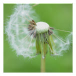 Dandelion Wish Made Poster