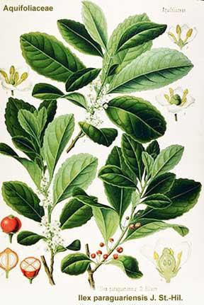Ilex paraguariensis, the mate plant