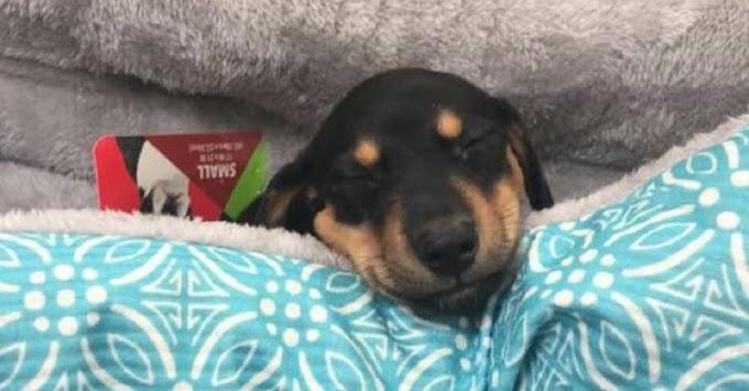 Un veterinario sacrifica a un perrito por error tras llamar al dueño equivocado