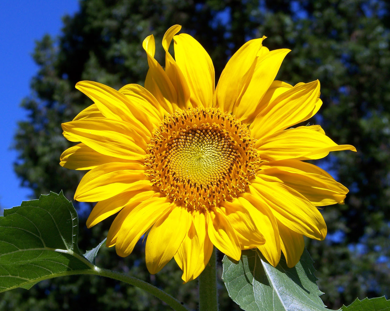 Sunflower Free Stock Photo - Public Domain Pictures