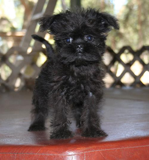 Affenpinscher Puppies For Sale  Aberdeen  Dogs for sale, puppies for
