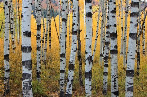 aspen tree wallpapers hd pixelstalknet