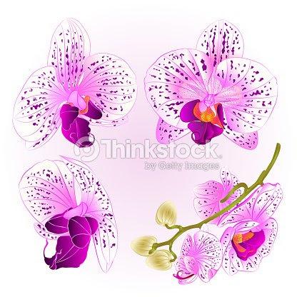 美しい紫と白蘭コチョウラン花ビンテージ セット第 2 ベクトル クローズ