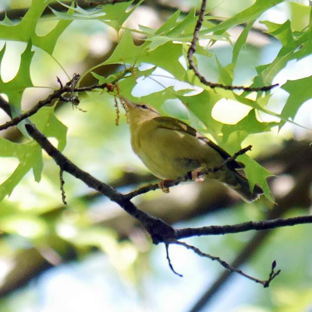 Ed Gaillard: birds &emdash; Worm-Eating Warbler, Central Park