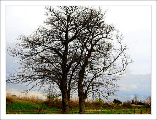 acacias espinosas en la vega de aranjuez