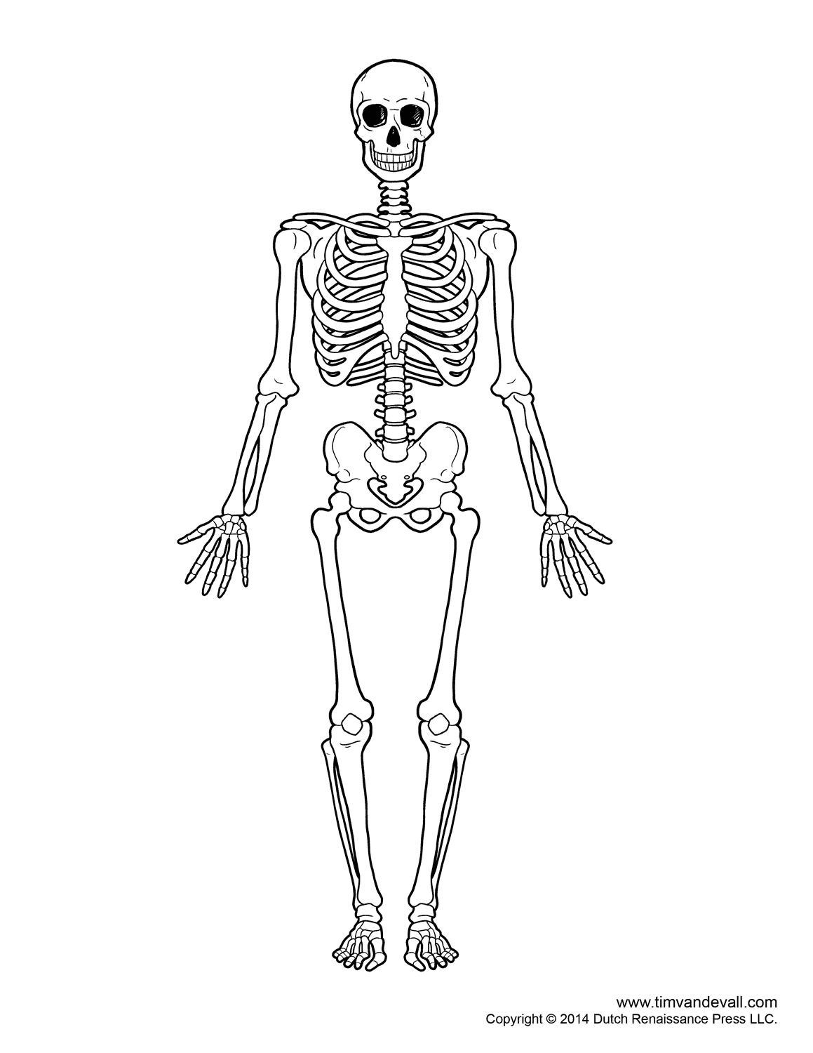 Printable Human Skeleton Diagram - Labeled, Unlabeled, and ...