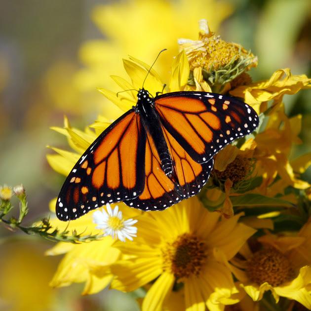 Ed Gaillard: recent &emdash; Monarch Butterfly, Randall's Island