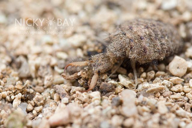 Antlion larva (Myrmeleontidae) - DSC_7112