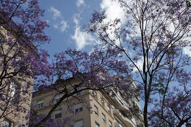 Jacaranda en Buenos Aires 005