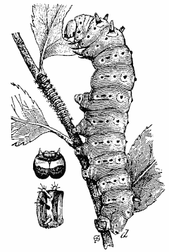 Archivo:Silkworm 01.png