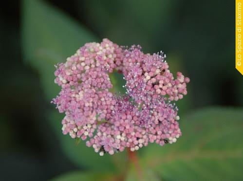 Ortensia Chinensis
