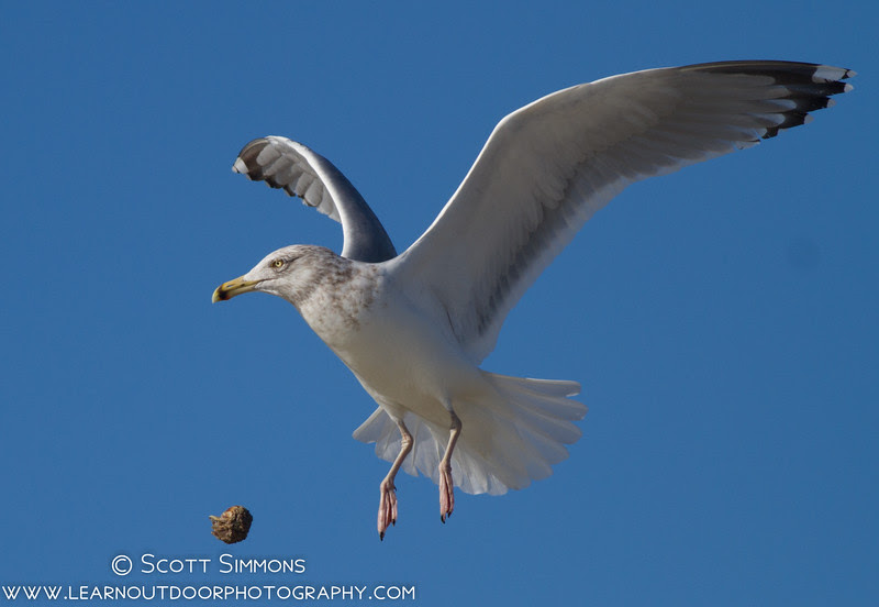 Fort De Soto. The gull dropped its prey repeatedly in an attempt to make it easier to open up.
