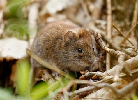 Of Mice and Men ? A Guide to Getting Rid of Mice in Your House   Dee's Outdoor Info Blog