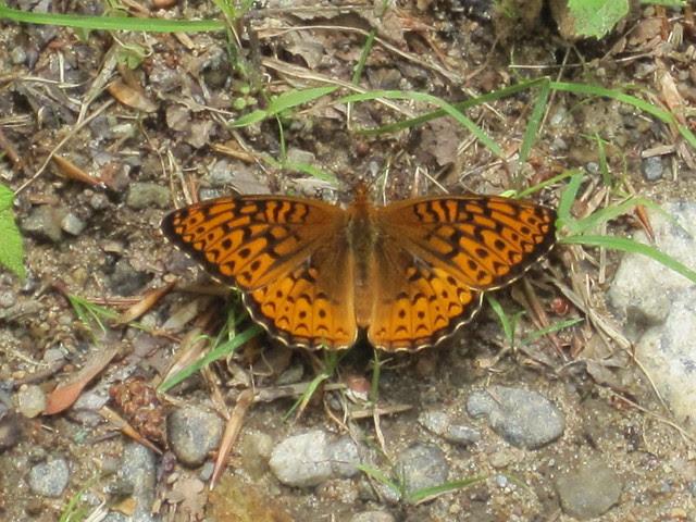 Princeton flutterby