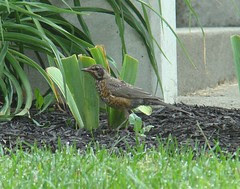 Baby RAPTOR robin