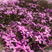 Blossoming ground cover.jpg