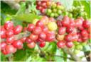 Jenis Kopi Arabika (Coffea arabica)