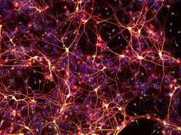 Neurons created from chemically-induced neural stem cells. The cells were created from skin cells that were reprogrammed into neural stem cells using a cocktail of only nine chemicals. This is the first time cellular reprogramming has been accomplished without adding external genes to the cells. (credit: Mingliang Zhang, PhD, Gladstone Institutes)