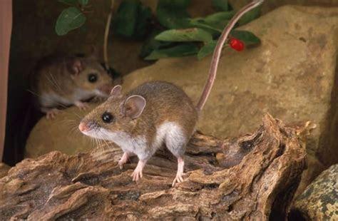 Peromyscus maniculatus (North American deer mouse)