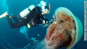 A diver attaches a sensor to a large Nomura\'s jellyfish off the coast of Komatsu in northern Japan. Large schools of these giant jellyfish, which have bodies ranging one to 1.5 meters in diameter, drift into Japanese waters in autumn and damage coastal fisheries.