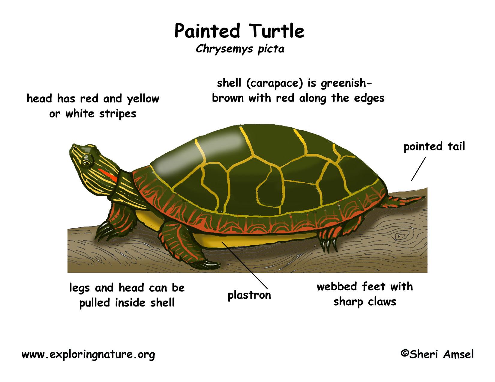 turtle_painted_diagram