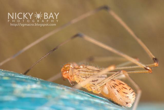 Spitting Spider (Scytodidae) - DSC_0944